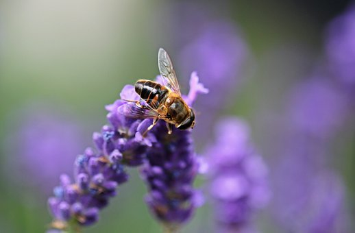 Hoverfly, Insect, Flight Insect
