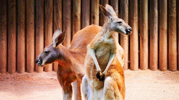 Kangaroos, Marsupial, Red Kangaroo, Zoo, Herbivores