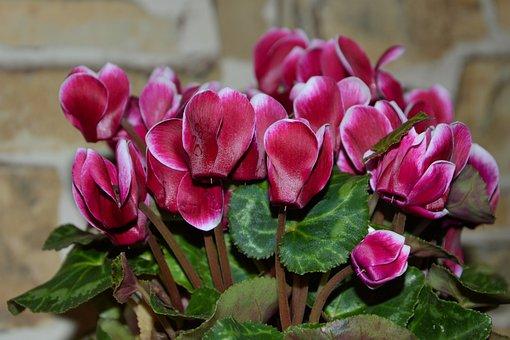 Cyclamen, Myrsinengewächse, Flora, Ornamental Plant