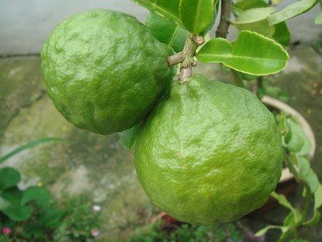 Lime, Citrus, Fruit, Green, Tree, Growing, Natural