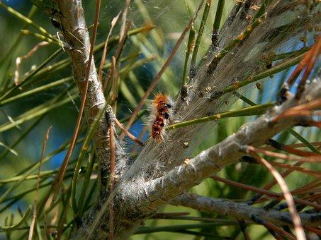 Caterpillars, Nature, Tree, Processionary