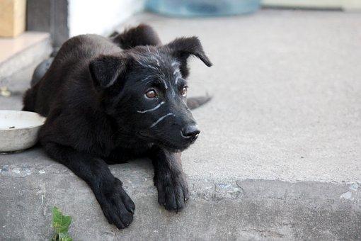 Dog, Puppy, Lie About, Black Fur