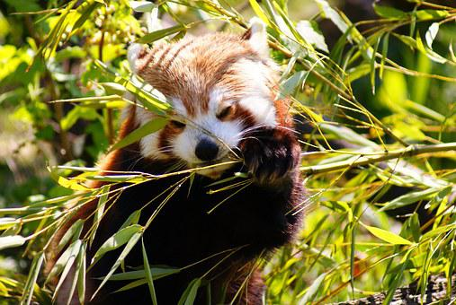 Red Panda, Panda, Mammal, Wildlife, Nature, Bamboo