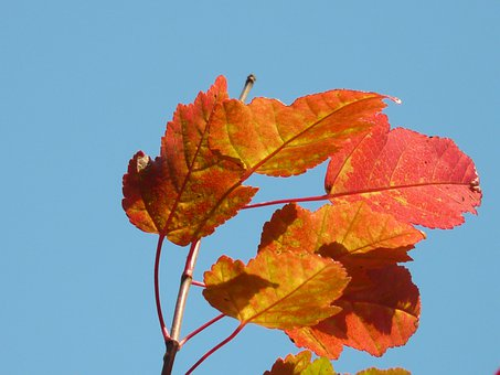 Fire Maple, Red, Small Leaf, Fall Foliage