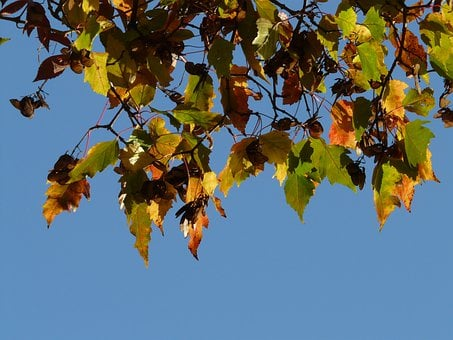 Fire Maple, Small Leaf, Fall Foliage