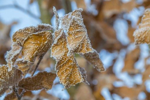 Frosted Leaves, Snow-capped Oak, Frosted Tree