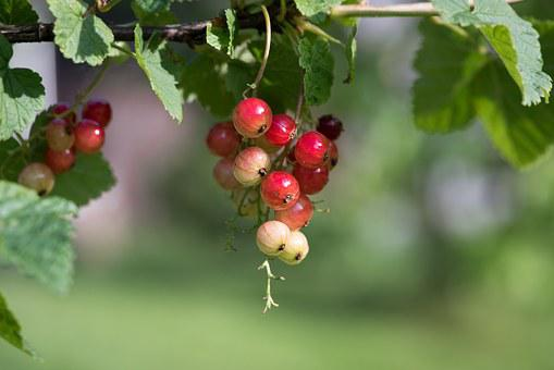 Currant, Reifeproszess, Red Currant, Soft Fruit