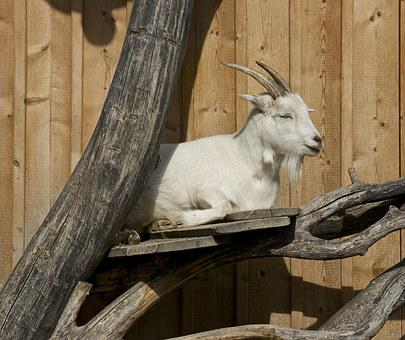 Goat Taking The Sun, Rest, Nap, Tree Trunk