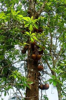 Canon Ball Tree, Yellapur, Uttar Kannada, India, Tree