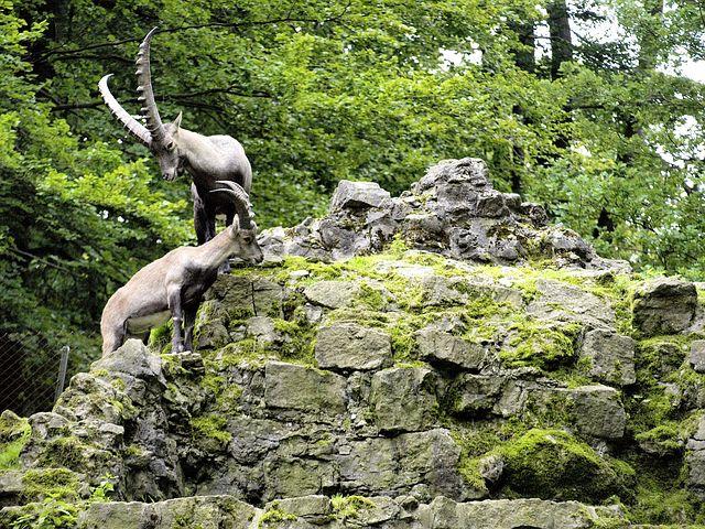 Capricorn, Wildlife Park, Horns, Nature, Mammal