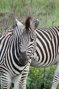 Zebra, Wildlife, Stripes, Black And White, Nature