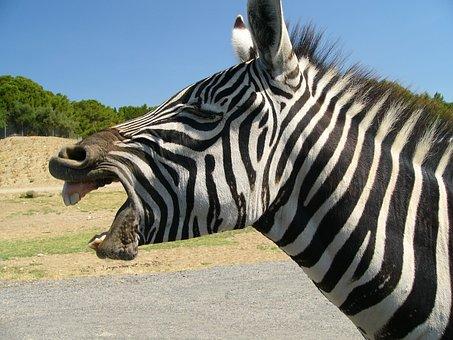 Zebra, Animal, Zoo, African Animals, Equine, Herbivore