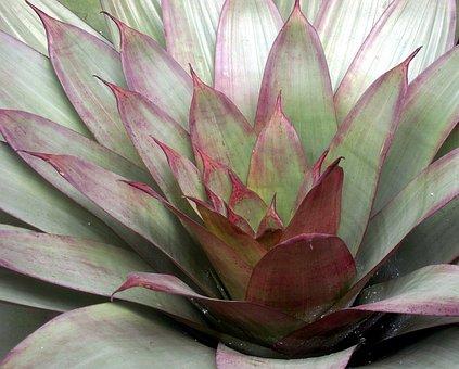 Agave, Plant, Succulent, Rosette Wax Flower, Rosette