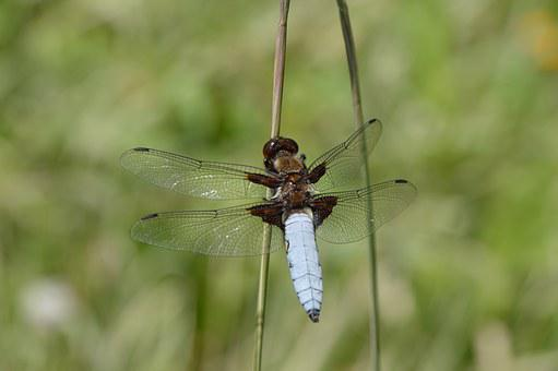 Blue, Dragonfly, Insect, Bug, Green, Wings, Macro
