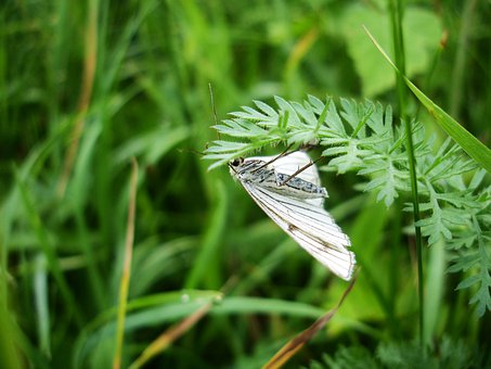 Green Veined White, Meadow, Butterfly, White, Grass
