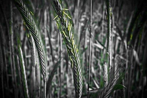 Cornfield, Grain, Cereals, Wheat, Nature, Field