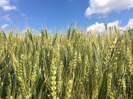 Cornfield, Field, Fields, Agriculture, Nature, Grain