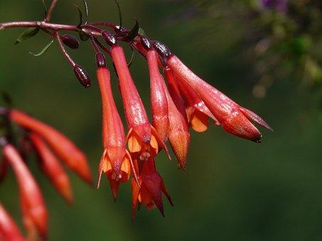 Flowers, Fuchsia, Red, Orange, Red Orange, Depend