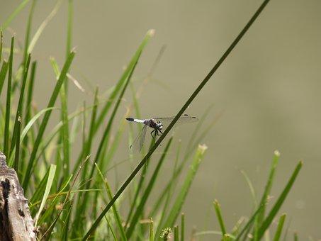 Dragonfly, Vízközel, Lake, Summer, Water, Hungary