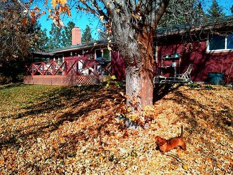 Backyard, Dachshund, Fall, Autumn, Seasonal, Outdoor