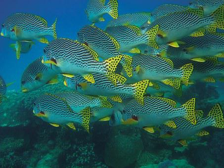 Fish Swarm, Fish, Underwater, Diving, Coral, Turquoise