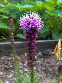 Liatris, Gayfeather, Blazing Star, Flower, Spiky