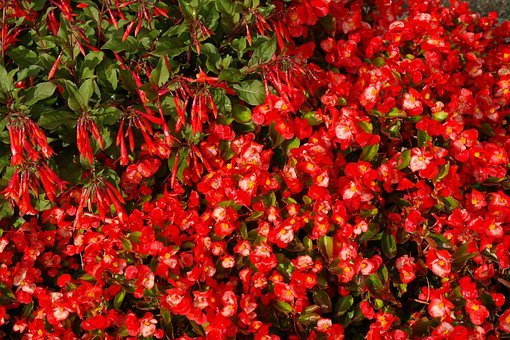 Coral Fuchsia, Blossom, Bloom, Red, Flowers, Bright Red
