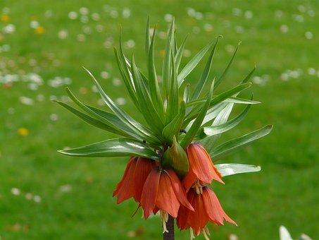 Imperial Crown, Fritillaria Imperialis, Fritillaria