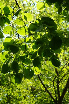 Linde, Lipovina, Foliage, Leaves, Green, Light, Hell