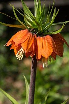 Imperial Crown, Flower, Macro, Close