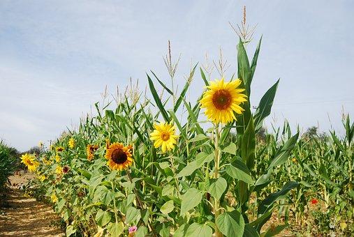 Sunflower, Corn Stalks, Corn, Natural, Stalk, Plant