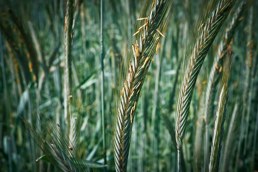 Grain, Cornfield, Cereals, Wheat, Nature, Field