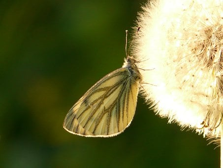 Green Veined White, White Ling, Butterfly, Dandelion