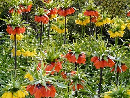 Imperial Crown, Flower, Blossom, Bloom, Yellow, Orange