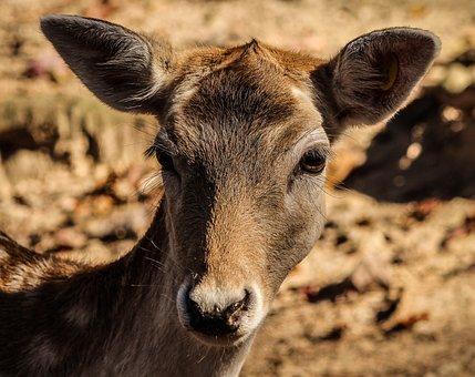 Fallow Deer, Doe, Cervidae, Ruminant, Dama Dama, Animal