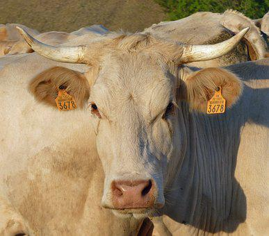 Cow, Head, Cattle, Animal, Farm, The Farm Animal
