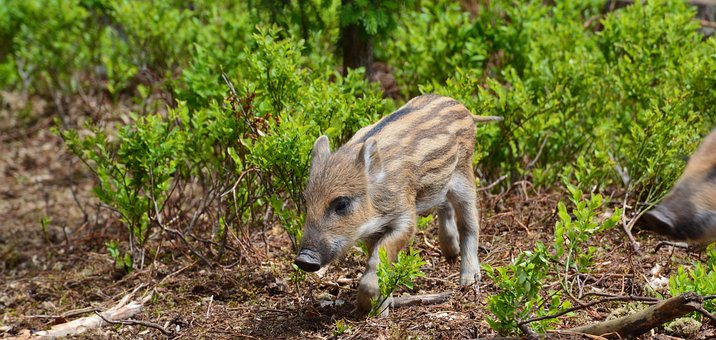Pig, Piglet, One, Wild Boar, The Critters, Animal
