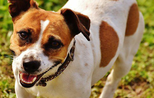Jack Russell, Terrier, Play, Meadow, Race, Dog, Animal