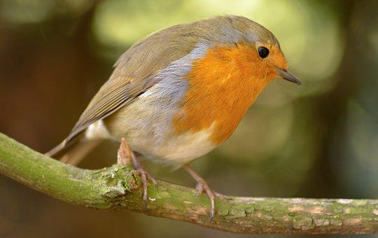 Robin, Anna, Bird, Wildlife, Animal, Nature, Wild