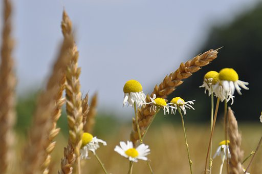 Wheat, Fields, Chamomile, Anna Lina Artline