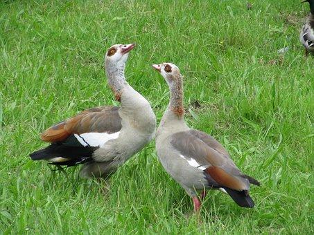 Ouette Of The Nile, Couple, Pen, Bird, Neck, Beak