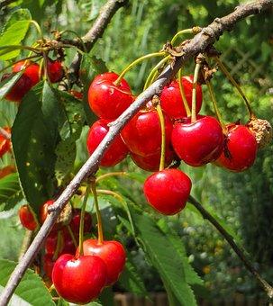 Summer, Cherries, Red, Fruit, Branch, Bing