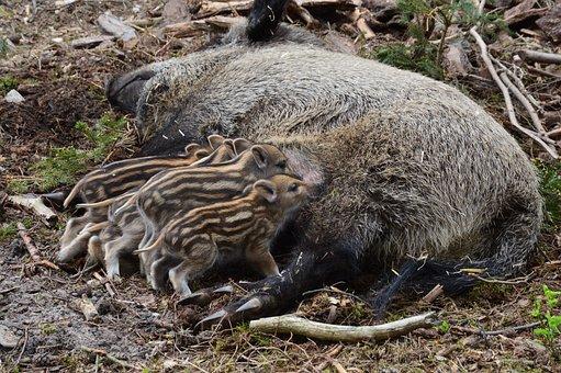 Wild Boar, Hog Wild, Piglet, Animal, Snout, Pig, Brood