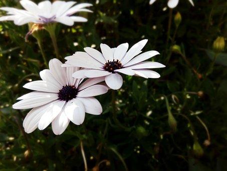 African Daisy, Daisy, Flowers, Flower, Pale, Purple