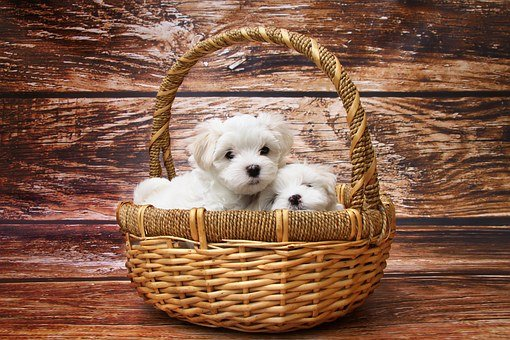 Dog, Maltese, Puppy, Sleep, Sweet, Animal, Meadow
