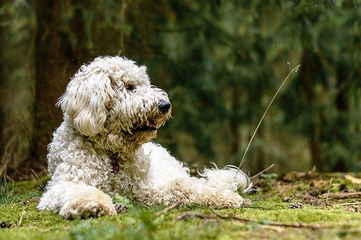 Golden Doodle, Dog, Forest, Nature, Animal, Forest Path