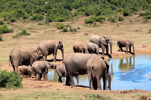 Elephant, African Bush Elephant, Wilderness