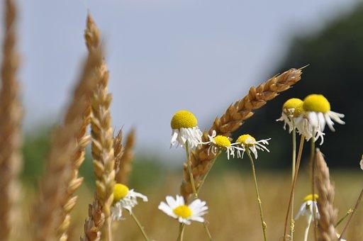 Wheat, Fields, Chamomile, Anna Lina Artline