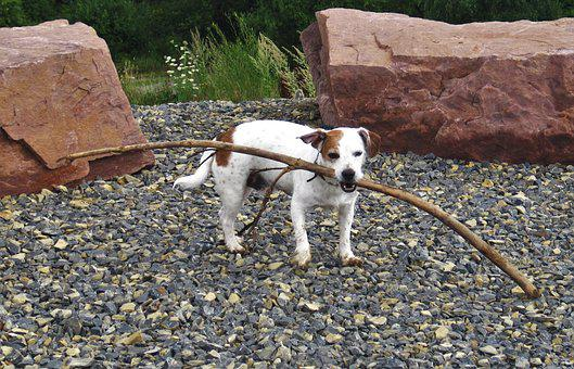 Dog, Batons, Floor, Jack Russel, On The Go, Strong