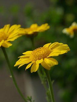 Chrysanthemum, Flower, Crown Marigold